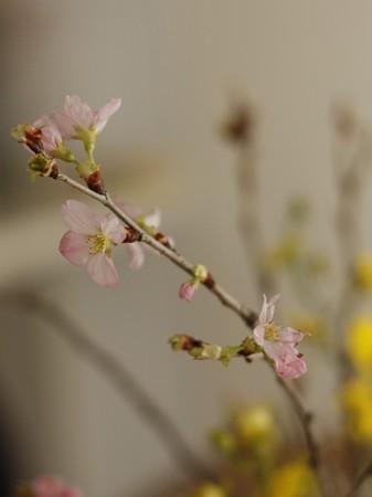 桃が買えず。。。  早くも桜
