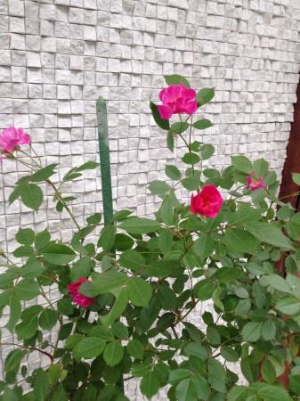 2年ぶりの開花